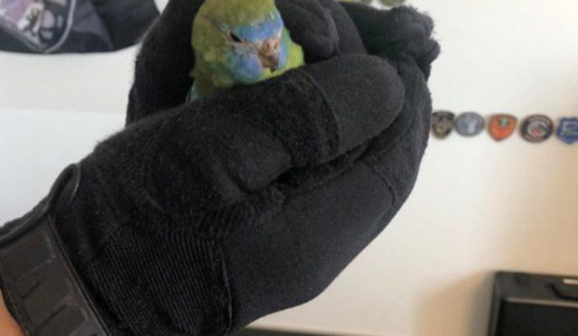 Wil SG - Polizei schnappt flüchtigen Papagei