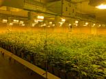 Bern BE - Indoor-Hanfanlage mit 3300 Pflanzen ausgehoben