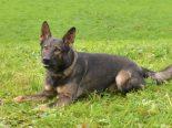 """Luzern LU - Polizeihund """"Rusty"""" stellt gewalttätigen Einbrecher"""