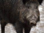 Wiesendangen TG - Acht Wildschweinen bei Kollision auf Autobahn getötet