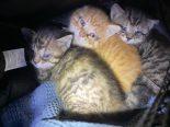 Hünenberg ZG - Zuckersüsse Katzen-Babys gerettet