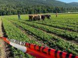 Oensingen SO - 13 Rinder ausgebüxt