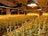 Härkingen SO - 3,5 Kilo verkaufsfertiges Marihuana und über 1500 Hanfpflanzen sichergestellt