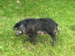 Herisau AR - Wollschwein aus Anhänger gefallen