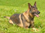 Kriens LU - Polizeidiensthund Capo stoppt Auto- und Moutainbikedieb