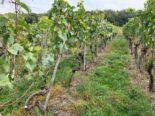 Siblingen SH - Trauben von Weinrebstöcken gestohlen