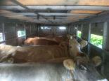 Region Willisau LU - Schwerpunktkontrollen bei Tiertransporten