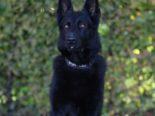 Cham ZG - Polizeihund Wyk hilft drei Einbrecher zu fassen