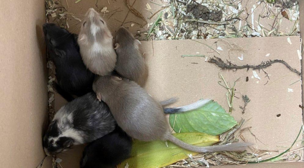 Kaiseraugst AG: Wüstenrennmäuse lebendig im Müll entsorgt