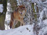 Obersaxen GR - Wölfe auf Skipiste gesichtet