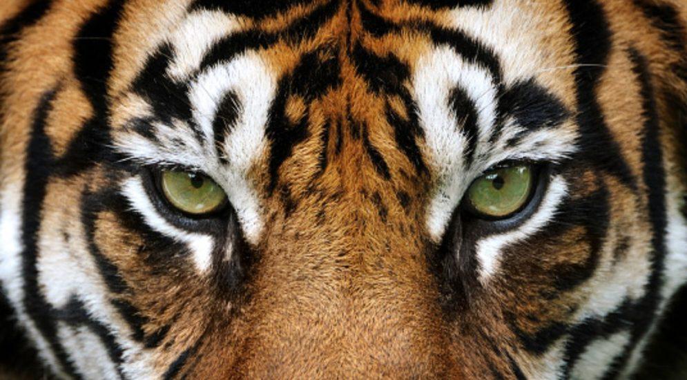 Zürich ZH - Tiger-Angriff im Zoo von 2020 als Arbeitsunfall gewertet