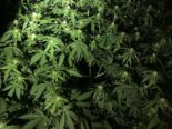 Bezirk Pfäffikon ZH: 1100 Hanfpflanzen sichergestellt