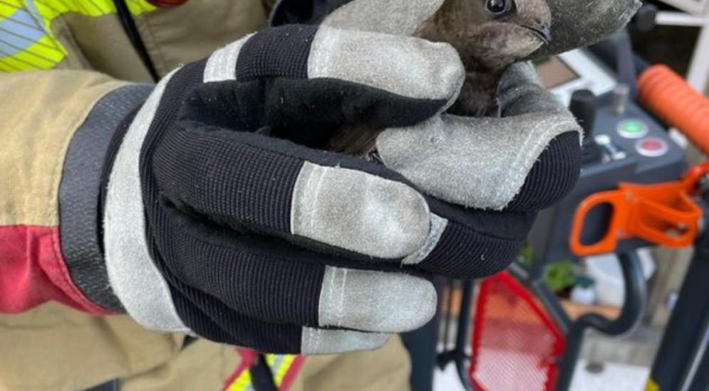 Murifeld BE: Mauersegler von Feuerwehr aus Dachuntersicht befreit