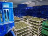 Thal, St. Gallen SG: 300 Kilo Marihuana bei Hausdurchsuchungen gefunden