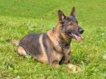 Willisau LU: Polizeihund Capo findet gesuchten Dieb