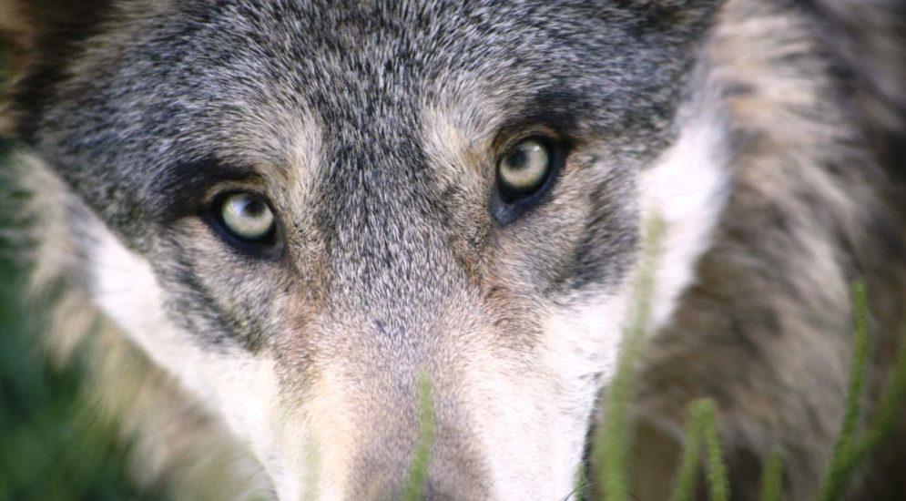 Kantons Glarus: Abschussgesuch für drei Jungwölfe abgelehnt